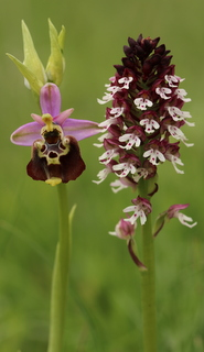 Late spider and burnt-tip orchids